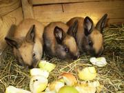 Кролики племенные,  разных возрастов.