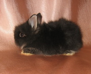 Продам декоративного карликового кролика