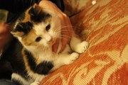 трех цветная кошка в дар!!!