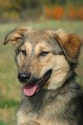 Сирена - собачка с золотым характером в дар