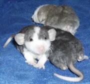 крысы хаски и другие