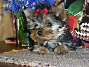 Йоркширский терьер,  очаровательные щенки.