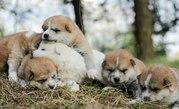 Хорошие щенки (акита-ину) от высокопородных родителей