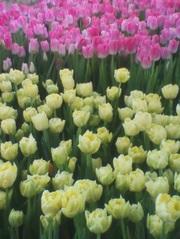 Тюльпаны на День влюбленных